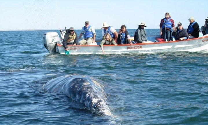 Whale Watching in San Ignacio Lagoon (Mexico)