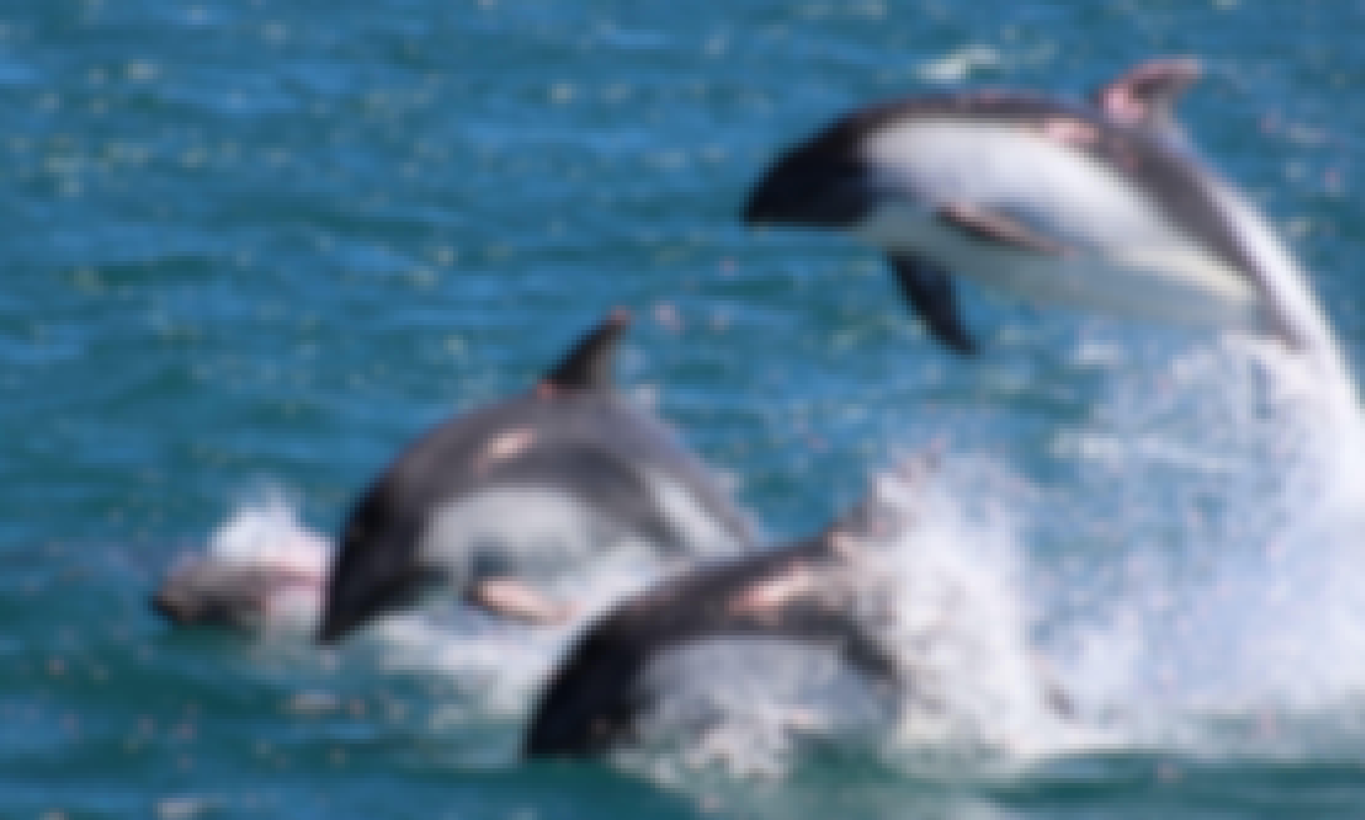 Dolphin Tour in Queilén, Chile