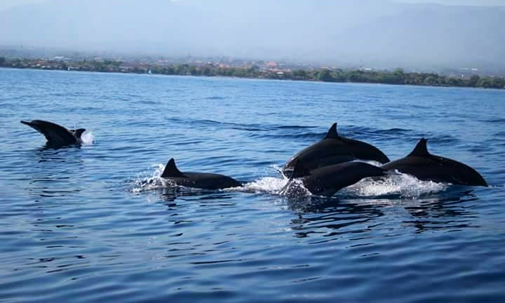 Enjoy wonderful dolphin watching experience in Buleleng, Bali