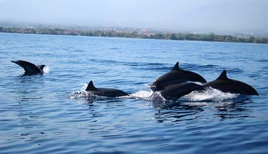 Enjoy Wonderful Dolphin Watching Experience In Buleleng, Bali