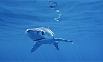 Swim with Blue sharks in San Diego!